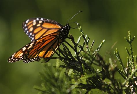 3 3m in grants to help stop decline of monarch butterfly
