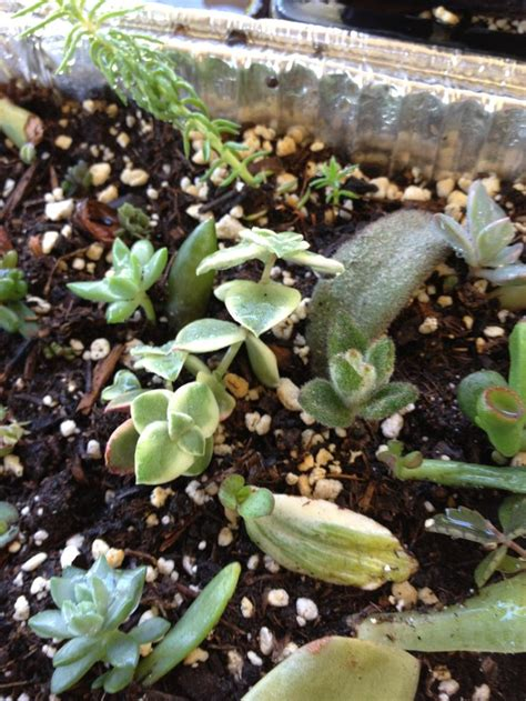 How To Propagate Succulents From Leaves And Cuttings - how to propagate from succulent leaf cuttings recipe