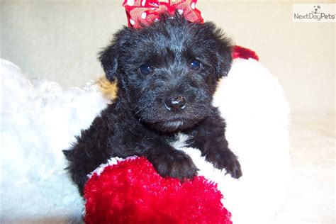 schnoodle puppies for sale near me schnoodle puppy for sale near st louis missouri 4f8ecbc3 5ee1