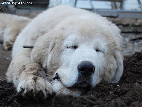 white tibetan mastiff puppies for sale white tibetan mastiff for