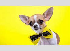 Wallpaper Chihuahua, dog, cute animals, yellow, 5k ... Noah Movie Wallpaper