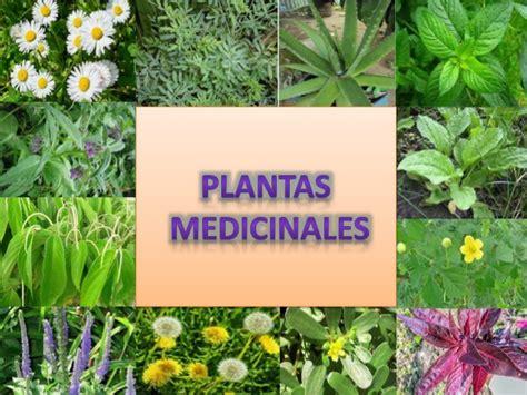 imagenes de flores medicinales plantas medicinales por ver 243 nica tigse y jacqueline j 225 come
