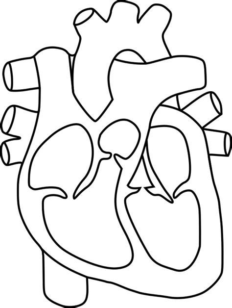 heart diagram coloring page clipart human heart
