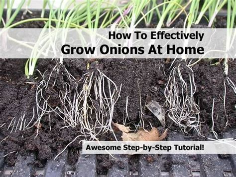 how to effectively grow onions at home