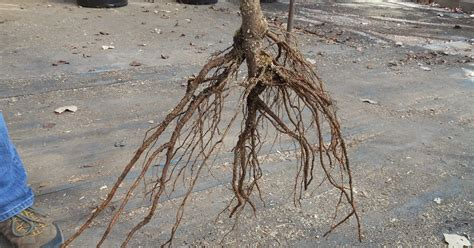 bare root fruit trees trees that nursery bare root fruit trees will be here soon