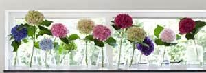 hortensien in der vase farbenvielfalt in der vase verwandlungsk 252 nstlerin