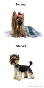yorkie haircuts for a silky coat yorkie grooming for show dog breeds picture