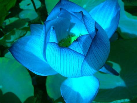 Lotus Flower Narcotic 66 Best Images About Lotus On Flowers Lotus