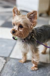 haircut ideas for hair dogs 25 best ideas about yorkie hairstyles on pinterest