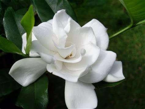 Tanaman Bunga Melati budidaya tanaman bunga melati