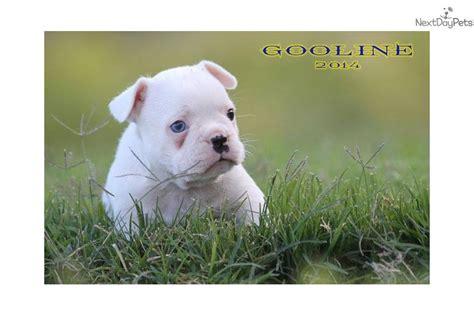 shorty bull puppies for sale mr blue eye shorty bull puppy for sale near san francisco bay area california