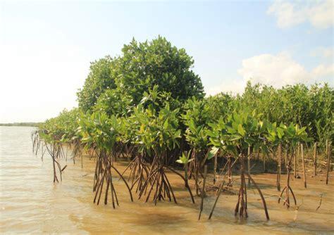 Bibit Sengon Laut Jogja penanaman mongabay co id