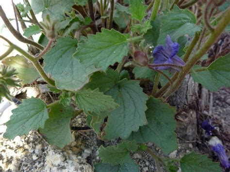 Anza Borrego Desert Flowers toothed leaves pictures of phacelia minor boraginaceae