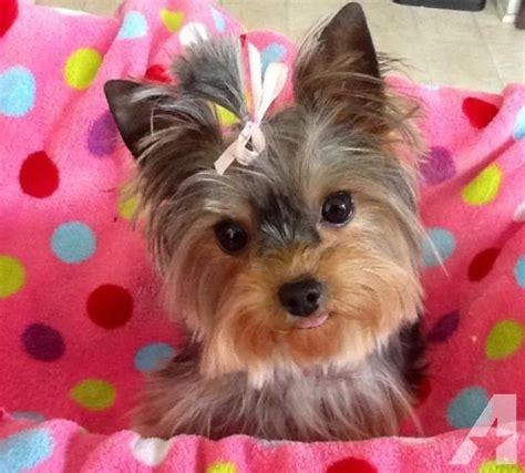 teacup yorkie tennessee akc teacup yorkie for sale in murfreesboro tennessee classified