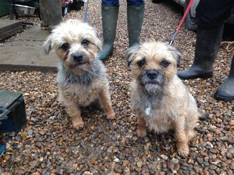 border terrier puppies for adoption ruby and stella 2 3 year border terriers for adoption