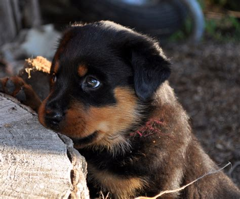 puppy rottweiler puppy dogs rottweiler puppies