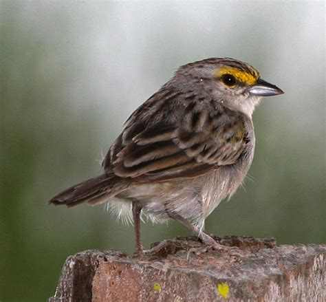 file yellow crowned sparrow jpg wikipedia