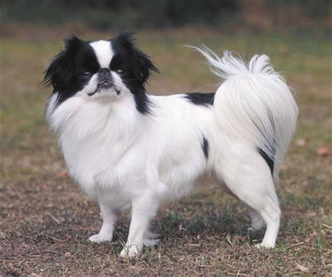 japanese breeds japanese spaniel breed of encyclopedia britannica