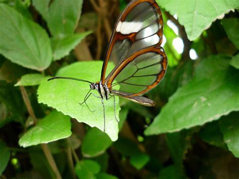 las imágenes más surrealistas de la naturaleza mariposa transparente espejitos taringa