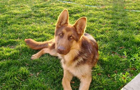 liver colored german shepherd liver colored german shepherd so pretty animales