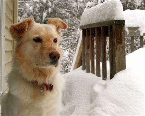 gollie puppies gollie gollies golden retriever collie hybrid dogs breeds picture