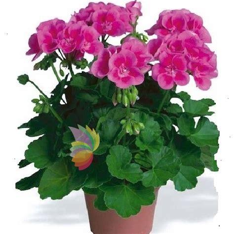 fiore geranio geranio spediamo fiori dolci e regali a domicilio