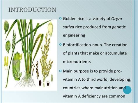 ppt templates for rice powerpoint template rice images powerpoint template and