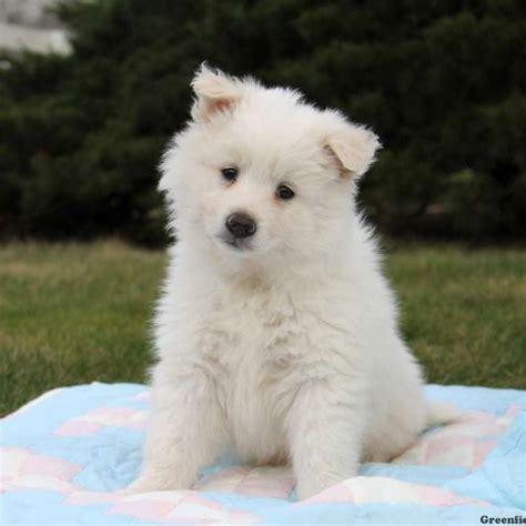 american eskimo pomeranian mix for sale american eskimo breeders ny breeds picture