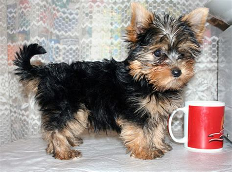 images of yorkies create a playful environment and click some fascinating pictures af yorkie puppies