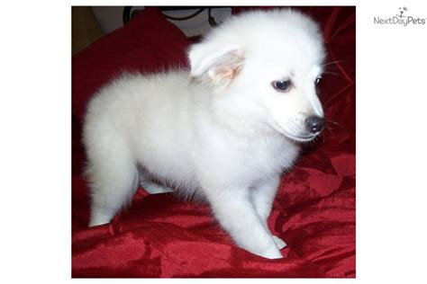 miniature american eskimo puppies american eskimo for sale for 250 near birmingham alabama 5e889315 a681