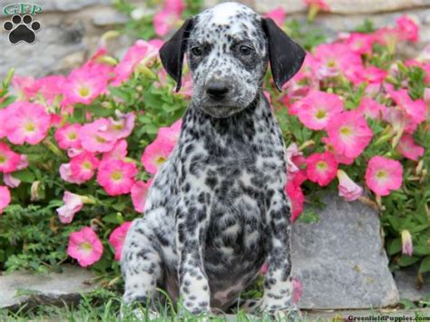 dalmatian puppies for sale in pa 25 best ideas about dalmatian puppies for sale on dalmatians for sale