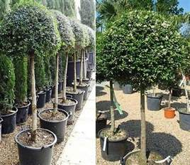Gardeners Supply Lollipop Tree Ligustrum Standard Trees Evergreen Screening Offers Uk