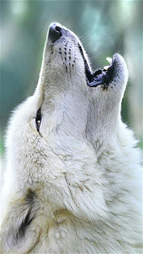wolf wallpaper pinterest wolf howling animal 640x1136 wallpapers jpg 640 215 1136