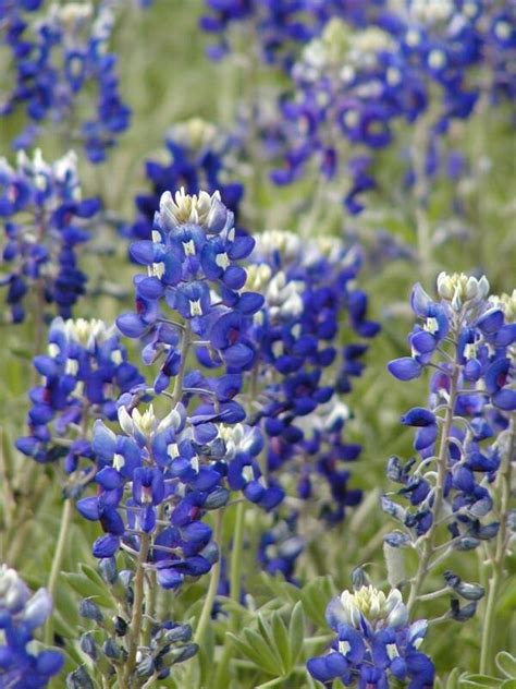 bluebonnets state flower of texas these are a few of