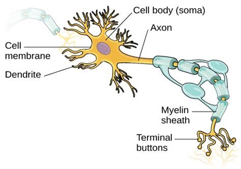 what part of a neuron houses the nucleus cells of the nervous system introduction to psychology