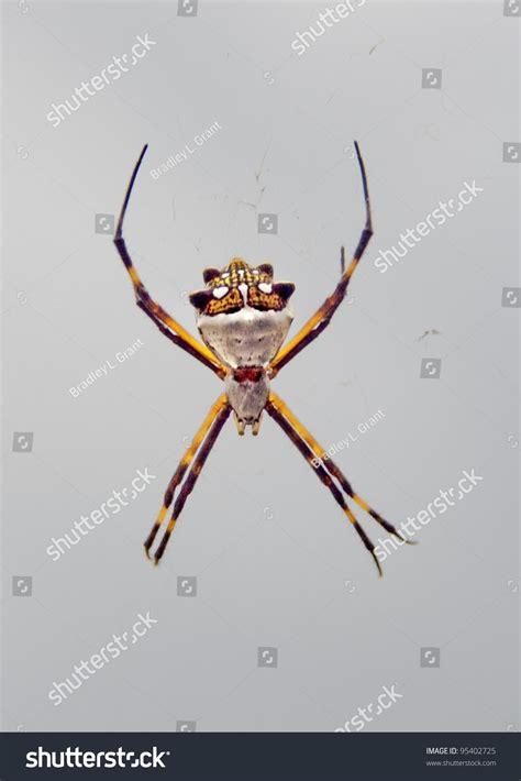 Garden Spider Usa by Spider Species Argiope Aurantia Black And Yellow Garden