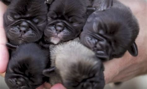 newborn puppies dying these newborn pug puppies are i m dying