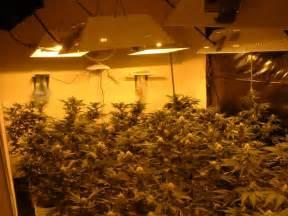 cannabis x indica marijuana