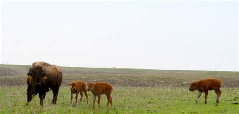 prairie facts konza prairie biological station shares facts about bison the new u s national mammal