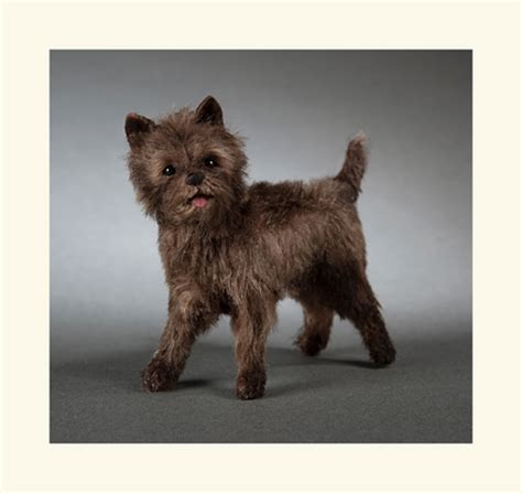 toto breed toto wizard of oz breed of www pixshark images galleries with a bite