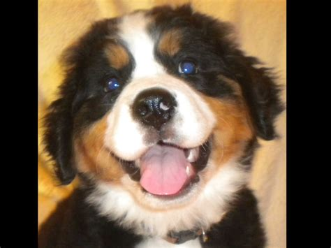 bernese mountain puppies ohio bernese mountain puppies for sale near loveland ohio akc marketplace