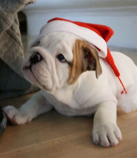 holiday bulldogs images  pinterest english bulldogs french bulldogs  funny images