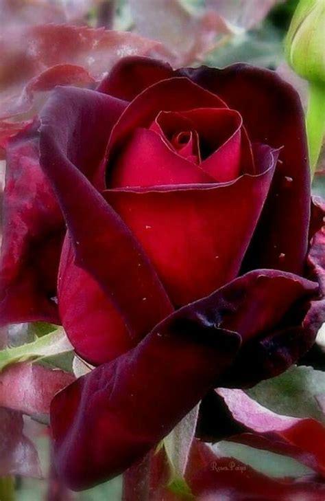 imagenes de rosas increibles m 225 s de 25 ideas incre 237 bles sobre hermosas rosas rojas en