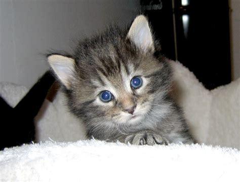 foto gatti persiani cuccioli salvato il gattino viveva nel tombino quattro