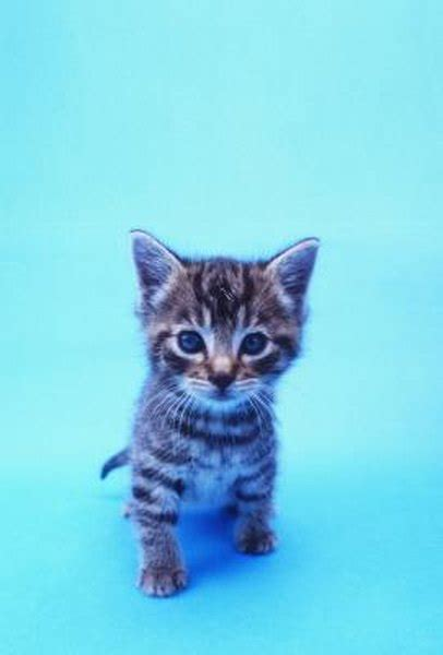 introduce feral kittens   house cats pets
