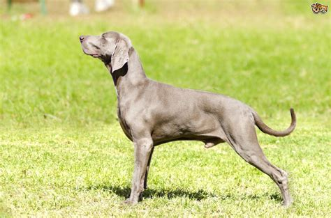how is a puppy is a weimaraner the right for you pets4homes