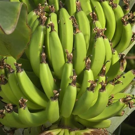 banana tree plant  sale buy banana tree super dwarf