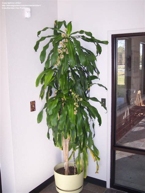 dracaena corn plant  bloom flowers  fragrant