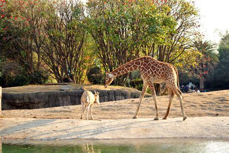 imagenes de animales del zoologico file jirafa y gacela zool 243 gico de chapultepec jpg