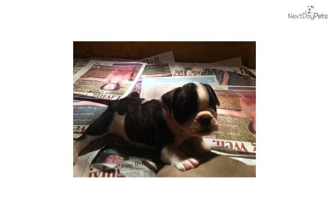 puppies for sale lubbock tx bulldog puppies for sale in lubbock tx breeds picture